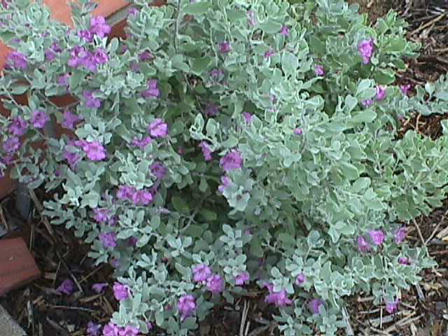 Natives of texas purple sage cenizo for Arbol de hoja perenne para jardin