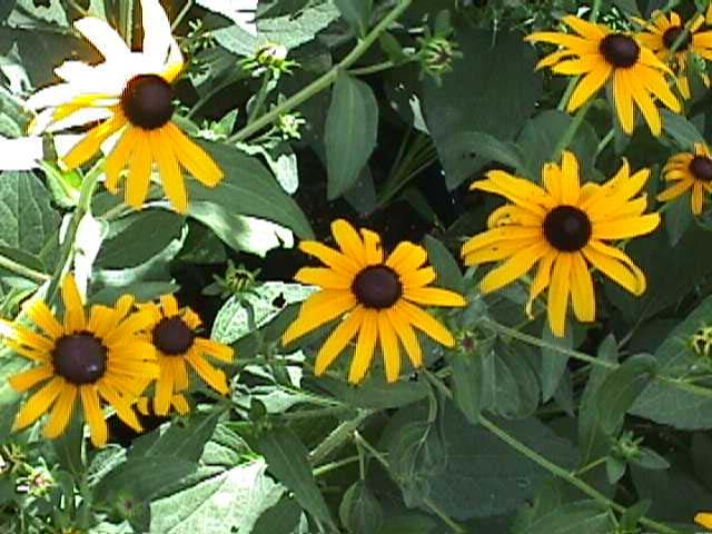 Natives of texas black eyed susan mightylinksfo