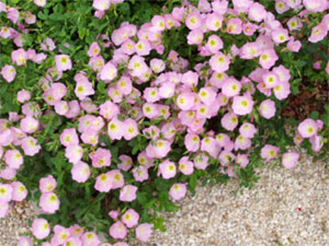 Natives of texas pink evening primrose mightylinksfo