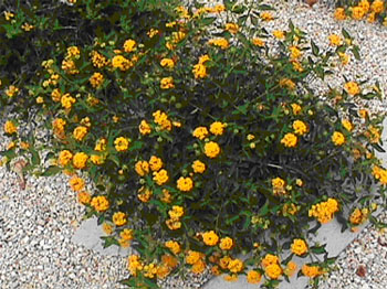 Cover new gold lantana lantana hybrid this bright yellow lantana